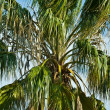 The big palm tree close up — Stock Photo