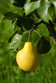 The ripe yellow pear hanging on a branch — Stock Photo