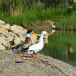 Pair of the ducks standing on the bank of small  river — Stock Photo