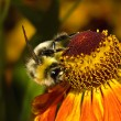 Bee on the flower middle — Stock Photo