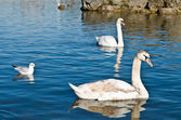 Familj av svanar — Stockfoto