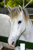 Portrait of a white horse — Stock Photo