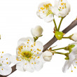 Blossoming plum — Stock Photo