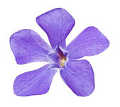 Periwinkle on the white — Stock Photo