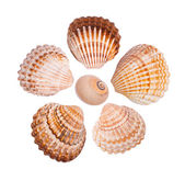 Six common cockle shells arranged in a flower shape — Stock Photo