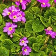 Flowers of a primrose against green leaves — Stock Photo