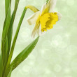 Narcissus on a light background — Stock Photo