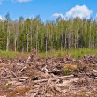 Tree felling against birches and sky — Stock Photo