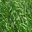 Grass close up, a background — Stock Photo