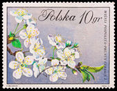 Republic of Poland - CIRCA 1972: A stamp printed in the Republic of Poland, A.Balcerzak, Wisnia Pospolita Prunus Cerasus L., PWPW-72, circa 1972 — Stock Photo