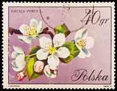 Republic of Poland - CIRCA 1972: A stamp printed in the Republic of Poland, A.Balcerzak, Grusza Pyrus L., PWPW-72, circa 1972 — Stock Photo