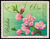 Republic of Poland - CIRCA 1972: A stamp printed in the Republic of Poland, A.Balcerzak, Brzoskwinia Zwyczajna Prunus Persica Batsch, PWPW-72, circa 1972 — Stock Photo