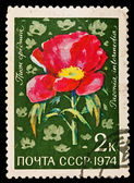 USSR - CIRCA 1974: A stamp printed in the USSR, image show Paeonia, circa 1974 — Stock Photo