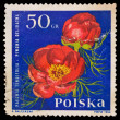 Republic of Poland - CIRCA 1964: A stamp printed in the Republic of Poland, shows A.Balcerzak Paeonia Tenuifolia piwonia Delikatna, circa 1964 — Stock Photo #28001883