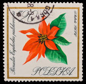 Republic of Poland - CIRCA 1966: A stamp printed in the Republic of Poland, shows Poinselia Euphorbia pulcherrina i. Matecki, circa 1966 — Stock Photo