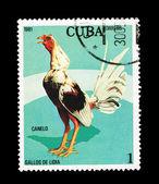 CUBA - CIRCA 1981: A stamp printed in the CUBA, shows gallos de lidia Canelo, circa 1981 — Foto de Stock