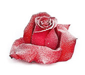 Red rose in white frost — Stock Photo