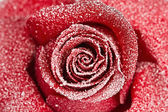 Frozen red rose — Stock Photo