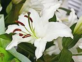 White lily — Stock Photo