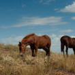 Stock Photo: Grazing horses in the steppe.