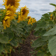 Stock Photo: Flowering sunflowers on background of the cloudy sky.