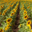 Rows of sunflowers. — Stock Photo