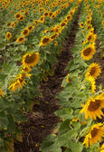 Field with rows of sunflowers. — Stock Photo