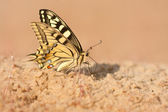 European swallowtail — Stock Photo