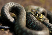 Grass-snake — Stock Photo
