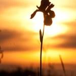 Iris and sunset — Stock Photo #13888489