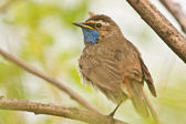 Bluethroat — Stock Photo