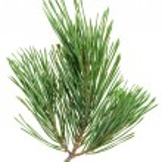 vintergröna pine kvist isolerade på vit, närbild Visa — Stockfoto