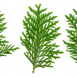 Thuja takje geïsoleerd op wit, close-up weergave — Stockfoto