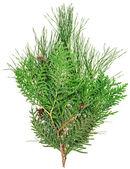 Thuja e pino bianco, closeup isolati su vista di ramoscelli — Foto Stock
