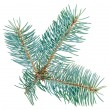 Blue spruce twig isolated on white, closeup view - Stock Photo