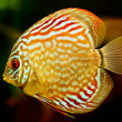 Discus fish (Symphysodon) swimming underwater - Stock Photo