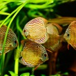 Stock Photo: Discus fish (Symphysodon) swimming underwater