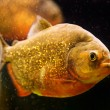 Red piranha (Serrasalmus nattereri) swimming underwater — Stock Photo