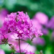 Purple garden phlox flowers bunch shallow depth of field shot — Stock Photo #16868453