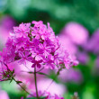 Stock Photo: Purple garden phlox flowers bunch shallow depth of field shot