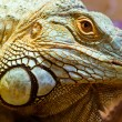 Head portrait of a green iguana - Stock Photo