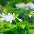 White garden lily flower, shallow depth of field — Stock Photo #16868475
