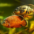 Oscar fish (Astronotus ocellatus) swimming underwater - Stockfoto