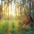 Stock Photo: Grubbed up stump in pine forest on sunrise with warm sunbeam