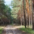 Rural road in coniferous forest thicket, sunny day - Stock Photo