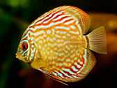 Discus fish (Symphysodon) swimming underwater — Stock Photo