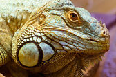 Head portrait of a green iguana — Stock Photo