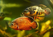 Oscar fish (Astronotus ocellatus) swimming underwater — Foto Stock