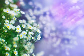 Camomile flowers, shallow depth of field shot with magic colors — Stock Photo