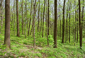 Deciduous (leaf) forest depths in sunny spring day — Stock Photo